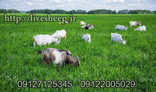 فروش گوسفند زنده در تهران