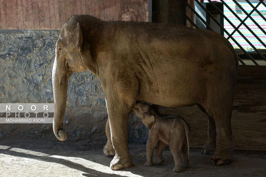 فیل 24 روزه
